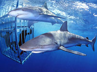 shark cage dive in oahu hawaii